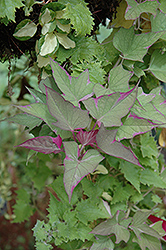 Tricolor Sweet Potato Vine (Ipomoea batatas 'Tricolor') at Stein's Garden & Home