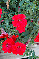 Surfinia® Red Petunia (Petunia 'Surfinia Red') at Stein's Garden & Home