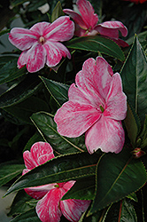 Sonic® Magic Pink New Guinea Impatiens (Impatiens 'Sonic Magic Pink') at Stein's Garden & Home