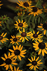 Little Goldstar Coneflower (Rudbeckia fulgida 'Little Goldstar') at Stein's Garden & Home