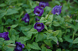 Summer Wave® Large Violet Torenia (Torenia 'Summer Wave Large Violet') at Stein's Garden & Home