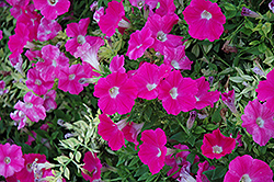 Wave Rose Petunia (Petunia 'Wave Rose') at Stein's Garden & Home