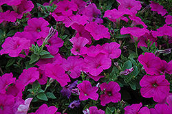 Easy Wave Neon Rose Petunia (Petunia 'Easy Wave Neon Rose') at Stein's Garden & Home