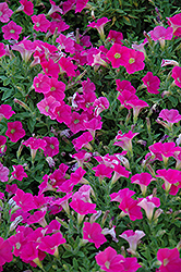 Shock Wave Rose Petunia (Petunia 'Shock Wave Rose') at Stein's Garden & Home