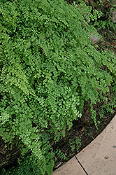 Philippine Maidenhair Fern (Adiantum philippense) at Stein's Garden & Home