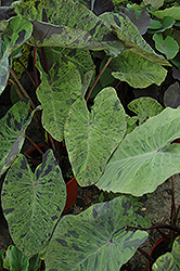 Elephant's Ear (Alocasia macrorrhizos) at Stein's Garden & Home