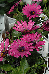 Soprano Purple African Daisy (Osteospermum 'Soprano Purple') at Stein's Garden & Home
