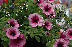 Supertunia® Mini Rose Veined Petunia (Petunia 'Supertunia Mini Rose Vein') at Stein's Garden & Home