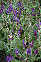 Lyrical Blues Meadow Sage (Salvia nemorosa 'Lyrical Blues') at Stein's Garden & Home