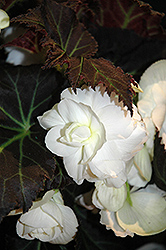Nonstop® Mocca White Begonia (Begonia 'Nonstop Mocca White') at Stein's Garden & Home
