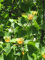 Tuliptree (Liriodendron tulipifera) at Stein's Garden & Home