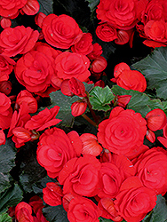 Nonstop® Red Begonia (Begonia 'Nonstop Red') at Stein's Garden & Home