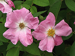 Rugosa Rose (Rosa rugosa) at Stein's Garden & Home