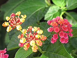 Luscious® Citrus Blend™ Lantana (Lantana camara 'Luscious Citrus Blend') at Stein's Garden & Home