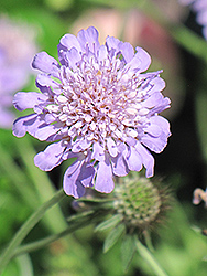 Butterfly Blue Pincushion Flower (Scabiosa 'Butterfly Blue') at Stein's Garden & Home