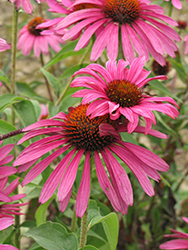 Ruby Star™ Coneflower (Echinacea purpurea 'Rubinstern') at Stein's Garden & Home