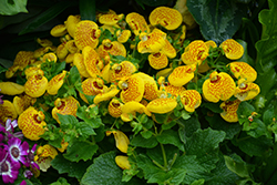 Cinderella Yellow Pocketbook Flower (Calceolaria 'Cinderella Yellow') at Stein's Garden & Home