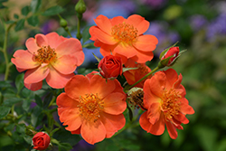 Oso Easy® Paprika Rose (Rosa 'ChewMayTime') at Stein's Garden & Home