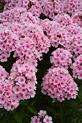Bright Eyes Garden Phlox (Phlox paniculata 'Bright Eyes') at Stein's Garden & Home