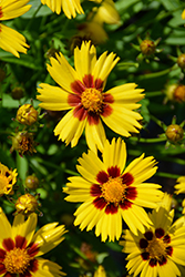 Sunkiss Tickseed (Coreopsis grandiflora 'Sunkiss') at Stein's Garden & Home