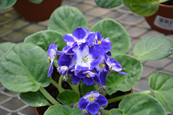 Monet African Violet (Saintpaulia 'Monet') at Stein's Garden & Home