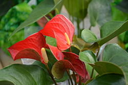Pizzazz Anthurium (Anthurium 'Pizzazz') at Stein's Garden & Home