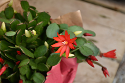 Red Easter Cactus (Hatiora gaertneri 'Red') at Stein's Garden & Home