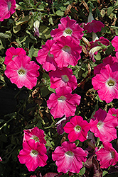Supertunia® Mini Bright Pink Petunia (Petunia 'Supertunia Mini Bright Pink') at Stein's Garden & Home