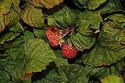 Raspberry Shortcake® Raspberry (Rubus 'NR7') at Stein's Garden & Home