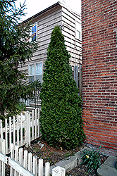 Dark Green Arborvitae (Thuja occidentalis 'Nigra') at Stein's Garden & Home