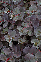 Sunset Cloud Stonecrop (Sedum 'Sunset Cloud') at Stein's Garden & Home