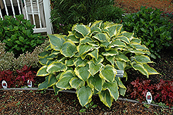 Seducer Hosta (Hosta 'Seducer') at Stein's Garden & Home