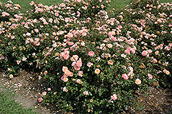 Apricot Drift Rose (Rosa 'Meimirrote') at Stein's Garden & Home