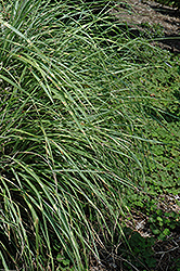 Little Zebra Dwarf Maiden Grass (Miscanthus sinensis 'Little Zebra') at Stein's Garden & Home