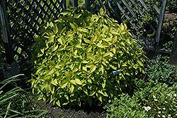 Golden Delicious Pineapple Sage (Salvia elegans 'Golden Delicious') at Stein's Garden & Home