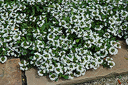 Bondi White Fan Flower (Scaevola aemula 'Bondi White') at Stein's Garden & Home