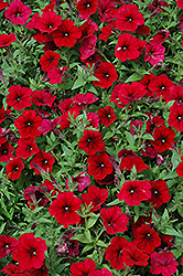Easy Wave Red Velour Petunia (Petunia 'Easy Wave Red Velour') at Stein's Garden & Home