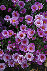 Purple Dome Aster (Aster novae-angliae 'Purple Dome') at Stein's Garden & Home