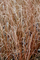 Red Rooster Sedge (Carex buchananii 'Red Rooster') at Stein's Garden & Home