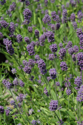 Mini Blue Lavender (Lavandula angustifolia 'Mini Blue') at Stein's Garden & Home