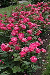 Double Knock Out Rose (Rosa 'Radtko') at Stein's Garden & Home