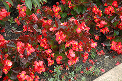 BabyWing® Red Begonia (Begonia 'BabyWing Red') at Stein's Garden & Home