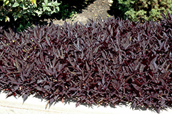 SolarPower Black Sweet Potato Vine (Ipomoea batatas 'SolarPower Black') at Stein's Garden & Home