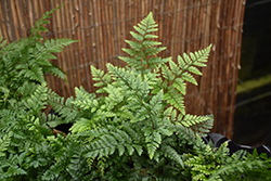 White Rabbit's Foot Fern (Humata tyermanii) at Stein's Garden & Home
