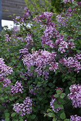Bloomerang Lilac (Syringa 'Bloomerang') at Stein's Garden & Home
