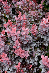 Concorde Japanese Barberry (Berberis thunbergii 'Concorde') at Stein's Garden & Home