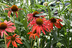 Tomato Soup Coneflower (Echinacea 'Tomato Soup') at Stein's Garden & Home