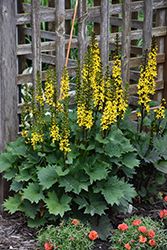 Little Rocket Rayflower (Ligularia 'Little Rocket') at Stein's Garden & Home