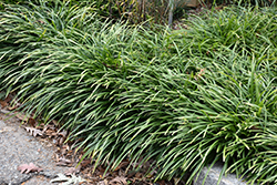 Big Blue Lily Turf (Liriope muscari 'Big Blue') at Stein's Garden & Home