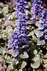 Burgundy Glow Bugleweed (Ajuga reptans 'Burgundy Glow') at Stein's Garden & Home